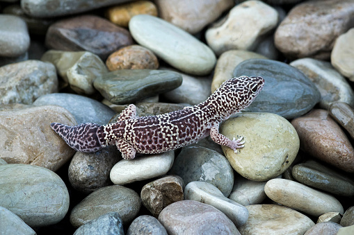 Leopard geckos (Eublepharis macularius) on stones. Distributed in north-west of India, in Pakistan, in southeast of Afghanistan, in east of Iran. Also popular terrarium animal