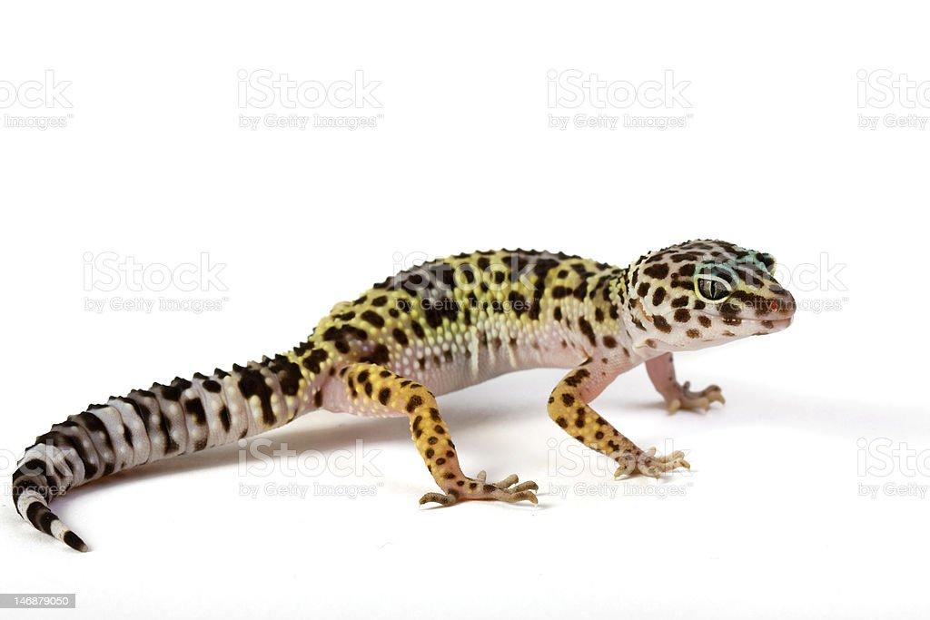 Leopard Gekco - Eublepharis macularius royalty-free stock photo