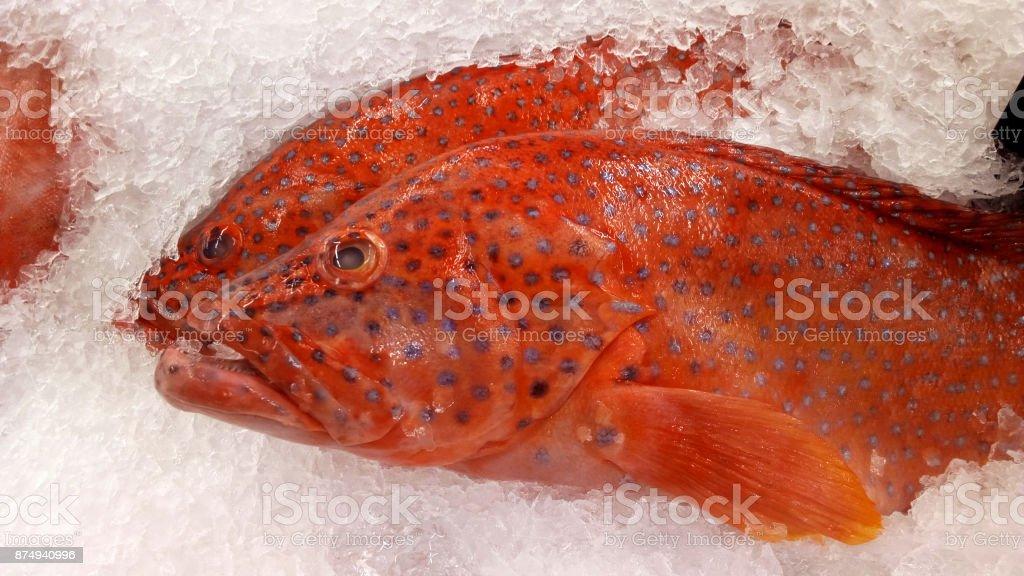 Leopard grouper stock photo