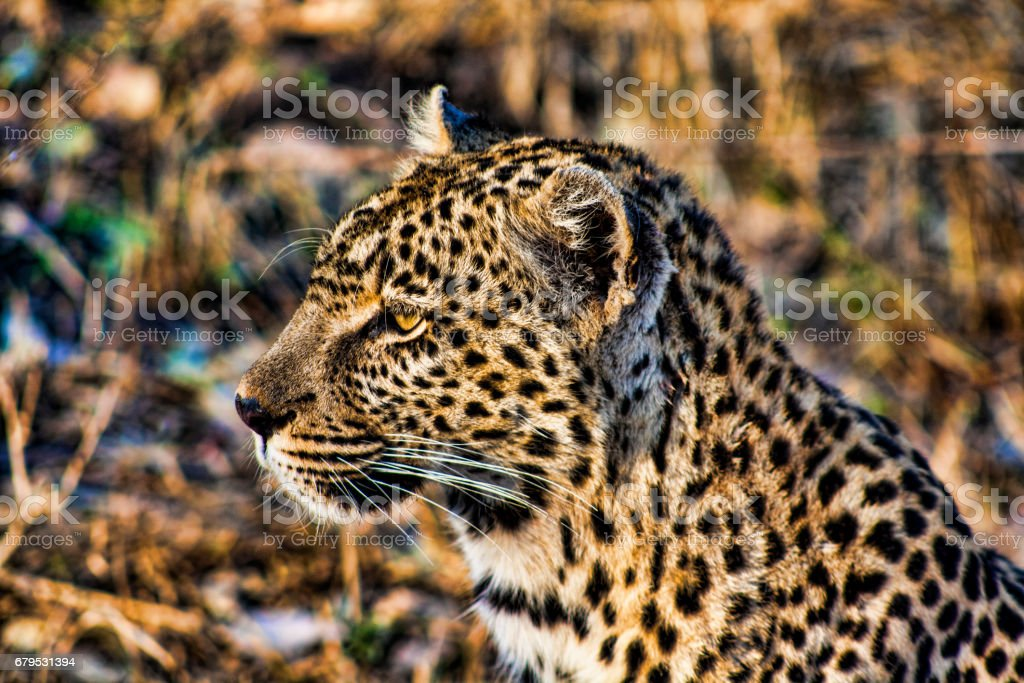 Leopard head, Sabi sands, South Africa royalty-free stock photo