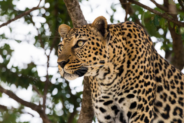Leopard, hunting animal stock photo
