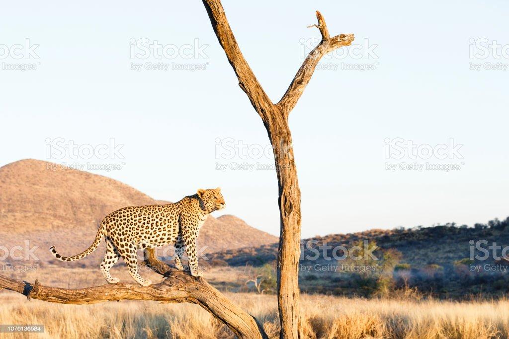 Leopard Im Baum – Foto