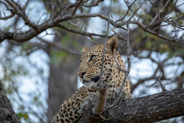 Leopard in a tree – zdjęcie