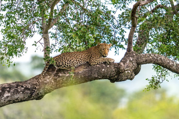 Leopard in a Tree A leopard relaxing in a tree. yala stock pictures, royalty-free photos & images