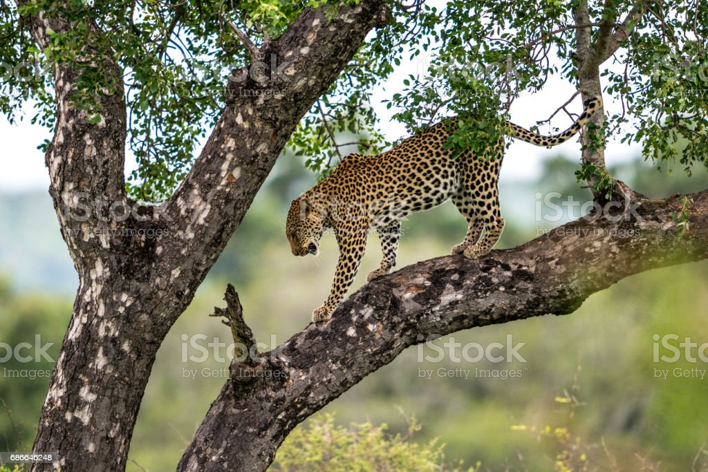 Leopard in a Tree royalty-free stock photo