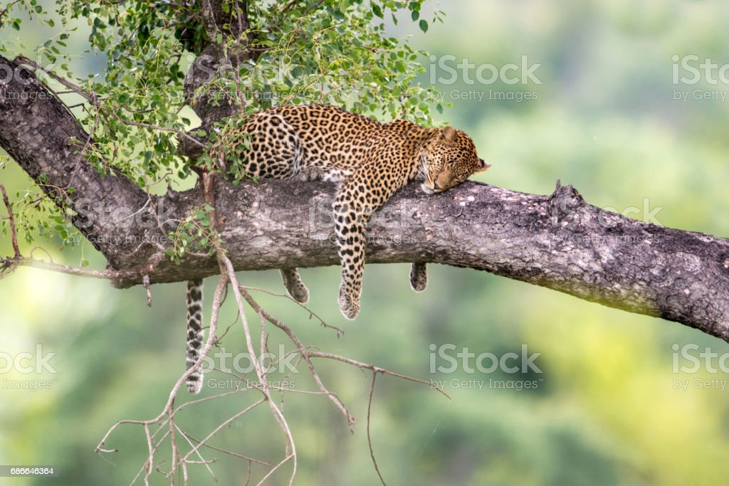 Leopard in a Tree stock photo