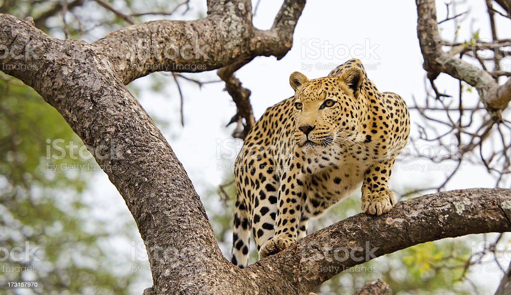 Leopard in a Tree - South Africa stock photo