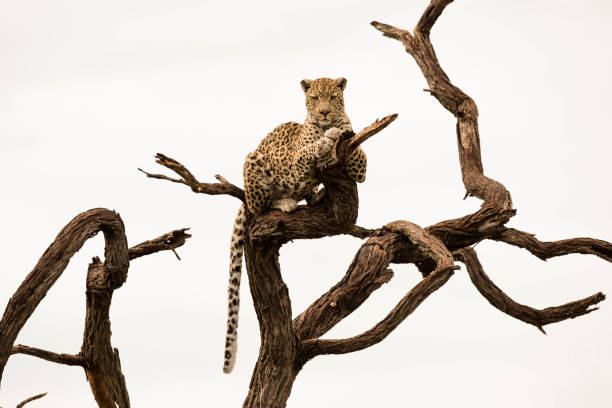 leopard in africa - wildlife conservation stock photos and pictures