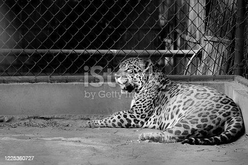 istock Leopard in captivity 1225360727