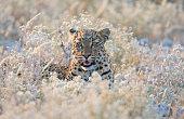 Leopard in flowers, Etosha National Park Namibia