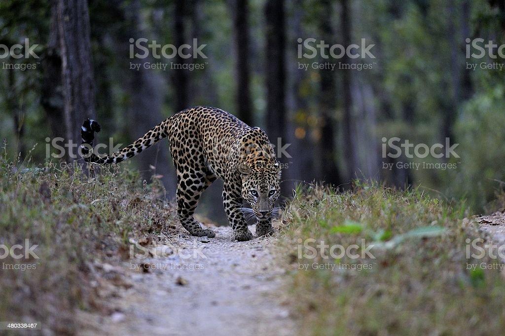 Leopard in Kanha stock photo