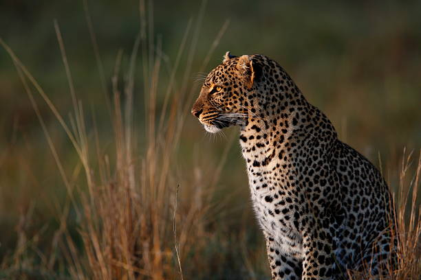 Leopard in long grass looking into distance stock photo