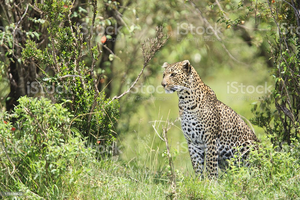 Leopard in nature habitat royalty-free stock photo
