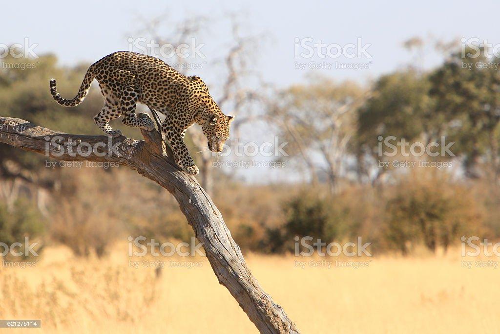 Leopard in Savuti, Chobe National Park, Botswana stock photo