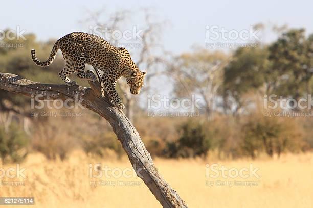 Leopard In Savuti Chobe National Park Botswana Stock Photo - Download Image Now