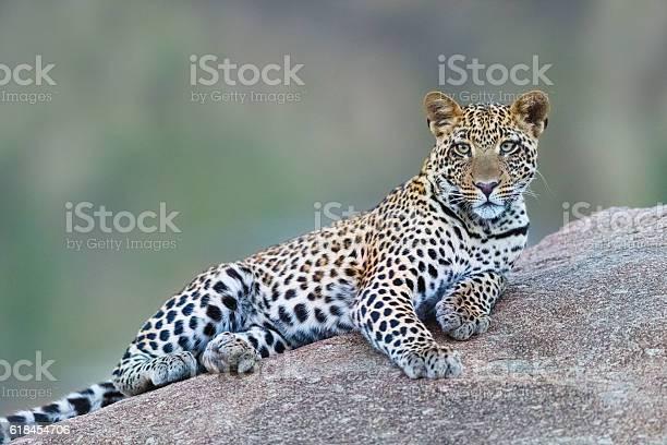 Leopard in serengeti national park tanzania africa picture id618454706?b=1&k=6&m=618454706&s=612x612&h=a aoxczmrp5tldzmjk5wnxr 7wqdxmv 3 mszji4sdo=
