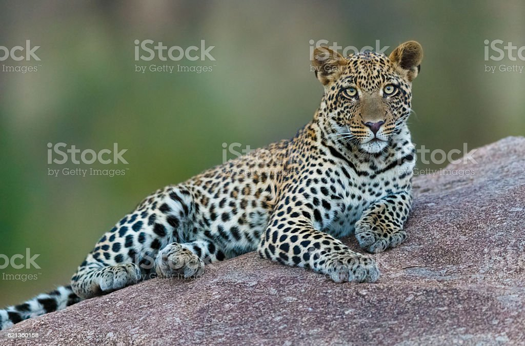 Leopard in Serengeti National Park, Tanzania Africa stock photo