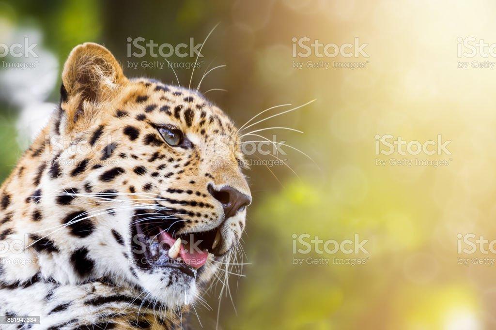Leopard im Sonnenlicht – Foto