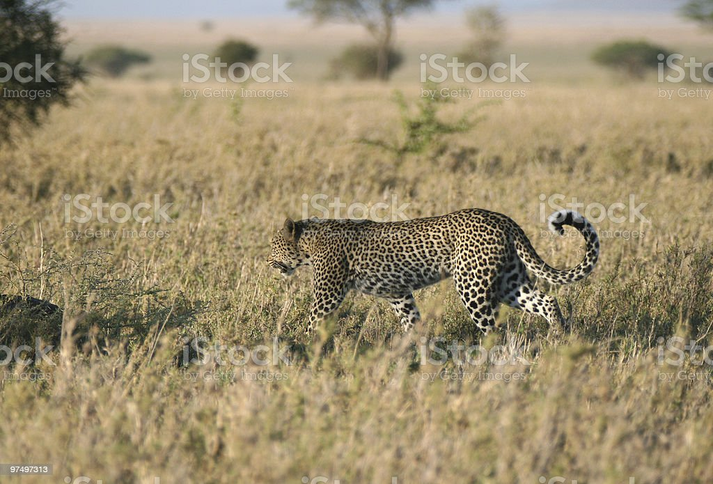 Leopard in Tanzania royalty-free stock photo