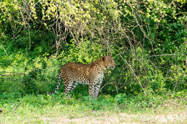 leopard in the green bush in Yala national park the leopard is spying on the deer right before the hunt yala stock pictures, royalty-free photos & images