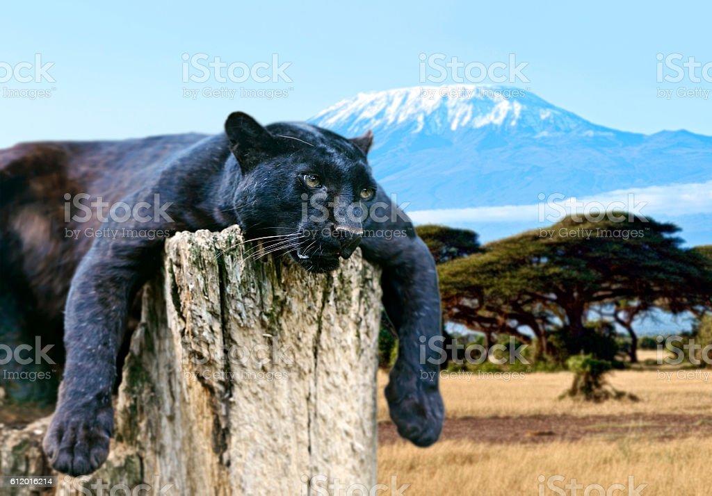 Leopard in the savannah stock photo