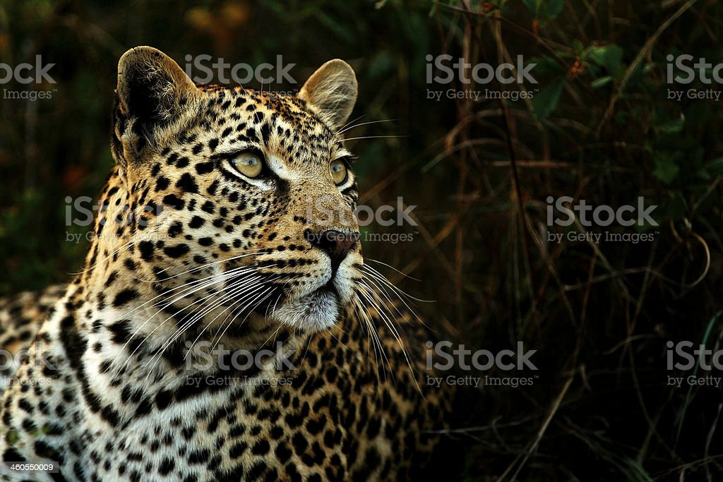Leopard in the Shadows stock photo