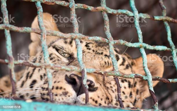 Leopard in the zoo picture id1023981518?b=1&k=6&m=1023981518&s=612x612&h=ffifxgfq3tscyft7ev7sve9pifh vgdxwpkv nkbnau=