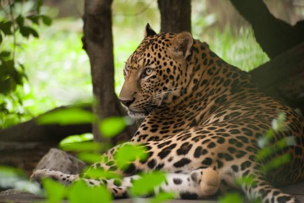 Leopard in the zoo – zdjęcie