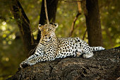 A female leopard sits high on a tree branch in Botswana's Moremi Wildlife Reserve.