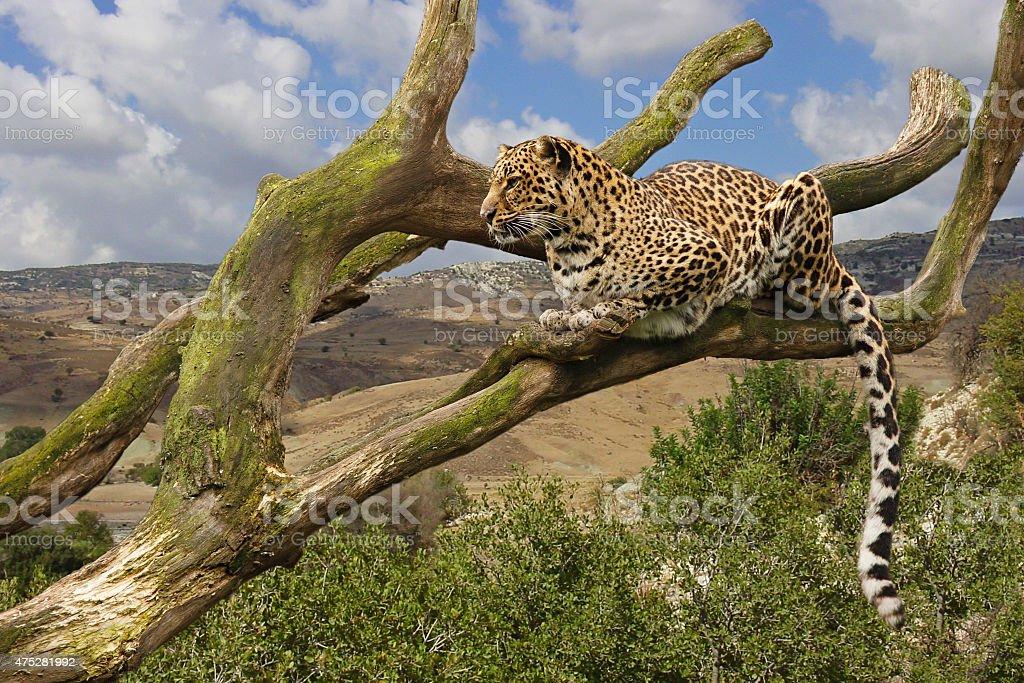 Leopard in tree stock photo
