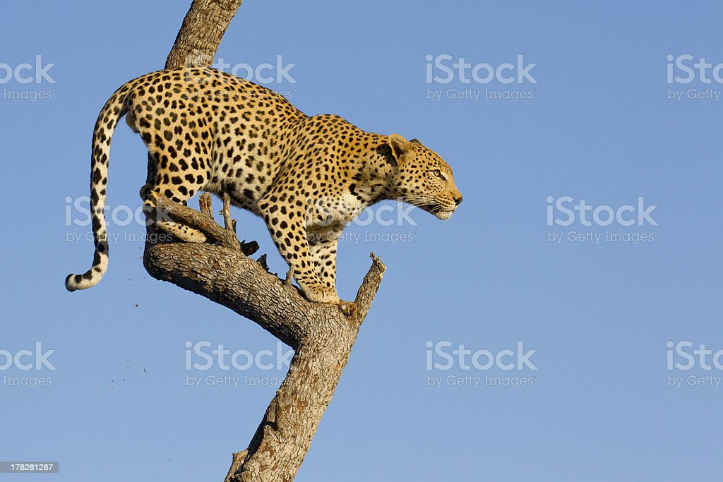 Leopard in tree, South Africa stock photo