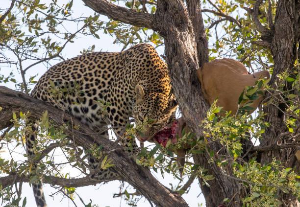 Leopard in Tree Stock Photo stock photo