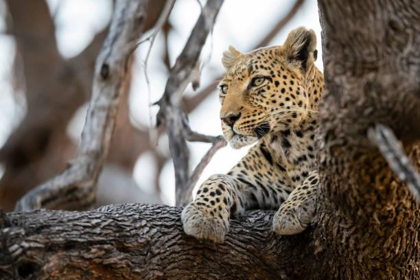 Leopard in wildlife, Okavango Delta, Botswana, Africa stock photo