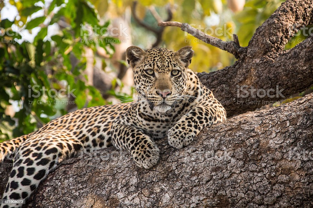 Leopard is resting on a tree stock photo