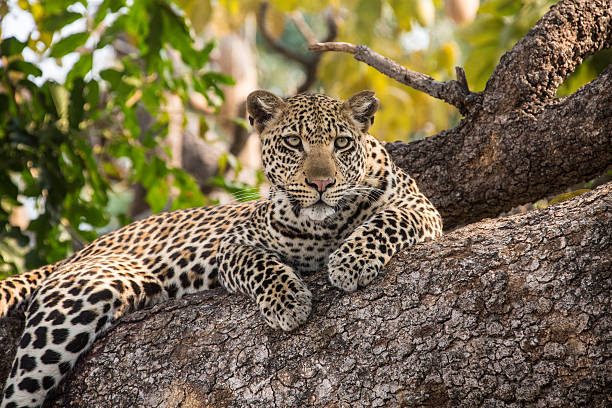 leopard ist auf einem baum - sambia stock-fotos und bilder