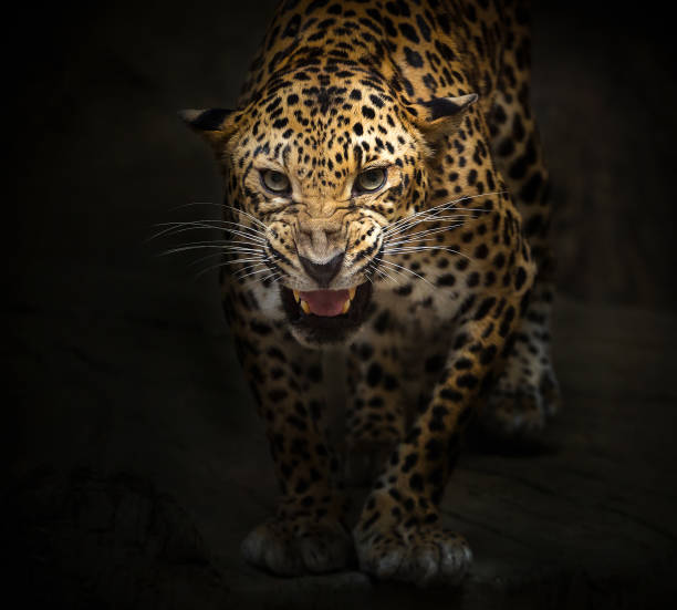 Roaring Jaguar: Best Jaguars Stock Photos, Pictures & Royalty-Free Images