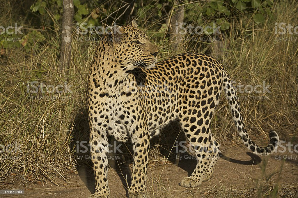 Leopard ist zu beobachten. – Foto