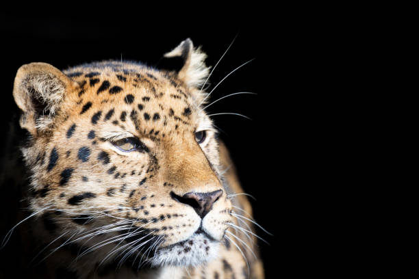 Leopard isolated on black stock photo