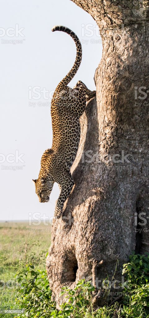 Leopard jumps from tree to earth. stock photo