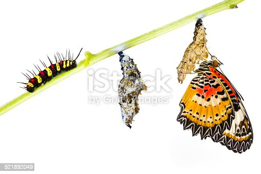 538988558 istock photo Leopard lacewing butterfly life cycle 521892049