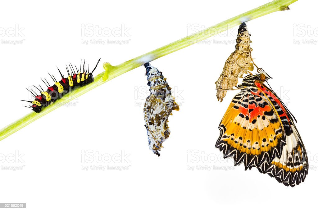 Leopard lacewing butterfly life cycle stock photo