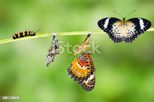 538988558 istock photo Leopard lacewing butterfly life cycle 580128826