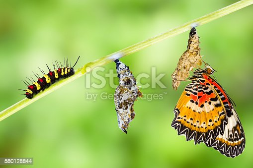 istock Leopard lacewing butterfly life cycle 580128844