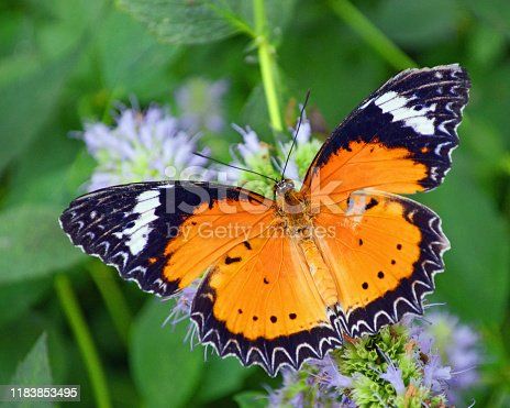 Butterflies are insects the order of Lepidoptera, which also includes moths.  It is divided into seven families: Hedylidae, Hesperiidae, Lycaenidae, Nymphalidae, Papilionidae, Pieridae and Riodinidae.  Cethosia cyane also known as the leopard lacewing, is a species of heliconiine butterfly found from India to southern China.  Photographed is a male butterfly, a rich reddish orange with apical two-thirds of the forewing black with a white and oblique band lying within. The termen of both forewing and hindwing is indented and lined with a broad and black marginal area containing a lace-like pattern of white markings.