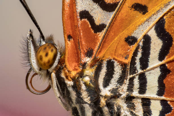 Leopard lacewing orange white and black beautiful patterns butterfly picture id1125523422?b=1&k=6&m=1125523422&s=612x612&w=0&h=ehhdijzmcoizf91w1min0zgvwj tac1xbkdttnbklkm=