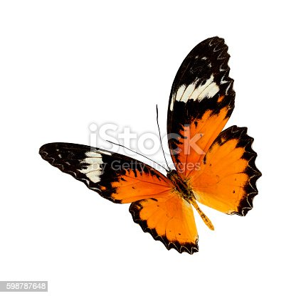 Beautiful butterfly, Malayan Lacewing, Leopard Lacewing butterfly upper wing profile isolated on white background.
