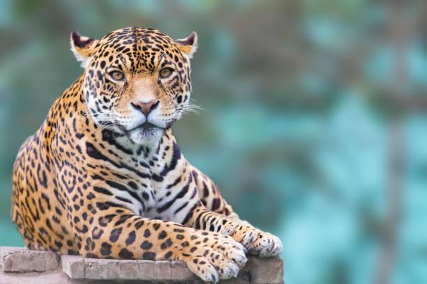 leopard looking at camera leopard looking at camera kenya jaguar cat stock pictures, royalty-free photos & images