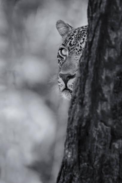 leopard eine beute in künstlerische umsetzung sorgfältig hinter einen baum betrachten - flecktarn stock-fotos und bilder