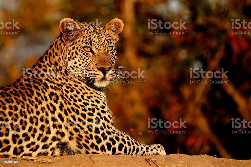 Leopardo al atardecer - foto de stock