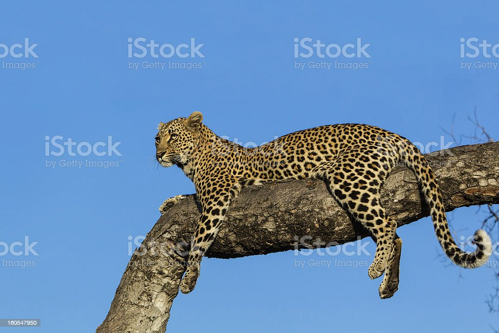 Leopard lying in a tree royalty-free stock photo